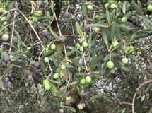 Olivo varietà oliva Mela
