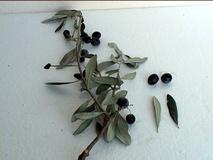 Olivo varietà Pasola