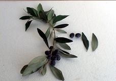 Olivo varietà Picholine