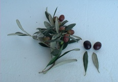 Olivo varietà S. Agostino