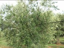 Olivo varietà Termite di Bitetto