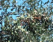 Olivo varietà Toscanina
