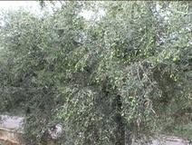 Olivo varietà Uovo di Piccione