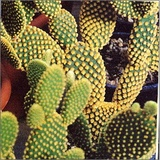 Opuntia ornamentale