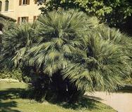 Palma nana o di S. Pietro