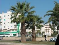 Palma washingtonia filifera e robusta