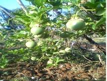 Passiflora da frutto