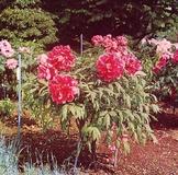 Peonia a fiore doppio