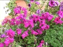 Petunia ibrida