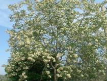 Robinia comune o Acacia spinosa