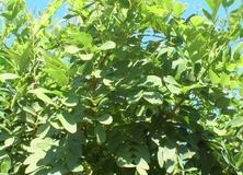 Robinia umbraculifera