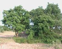 Roverella e Quercia virgiliana