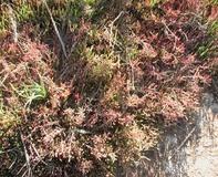 Salicornia glauca