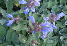 Salvia comune