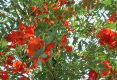 Sesbania verdeostuni for Pianta ornamentale con fiori a grappolo profumatissimi