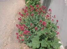 Valeriana rossa