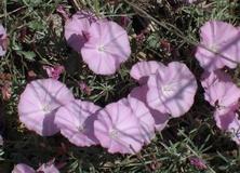 Vilucchio a fiori rosa