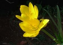 Zafferanastro giallo